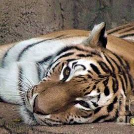 Siberian Tiger    Lazy On A Sunday Afternoon          August           Indiana by Rory Cubel