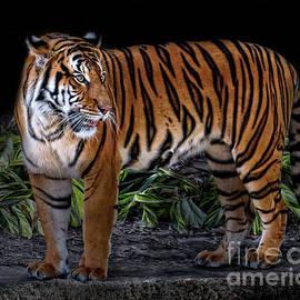 TN Fairey - Siberian Tiger