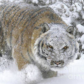 Wildlife Fine Art -  Siberian Tiger Winter