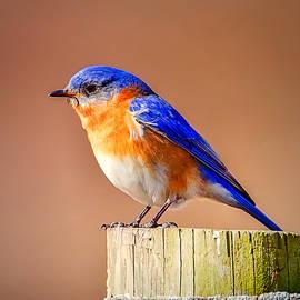 John Vose - Sign of Spring-Eastern Blue Bird