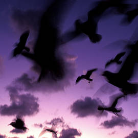 silhouettes of airborne seagulls at Twilight,  1996 - Sean Davey