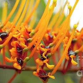 Silk Oak Tree Flower by Charmian Vistaunet