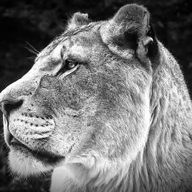 Chris Boulton - Silver Lioness