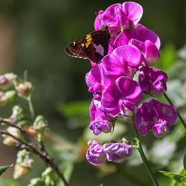 Teresa Mucha - Silver Spotted Skipper and Everlasting Sweet Pea