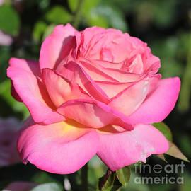 Carol Groenen - Simply Radiant Rose