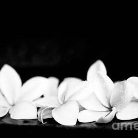 Sharon Mau - Singapore White Plumeria Flowers the Fragrance of Hawaii