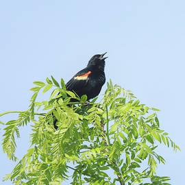 Dan Sproul - Singing Red Winged Blackbird