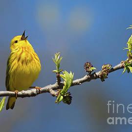 Todd Bielby - Singing Yellow Warbler