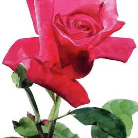 Single Bright Pink Rose Unfolding by Greta Corens