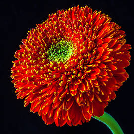 Single Orange Gerbera Daisy - Garry Gay