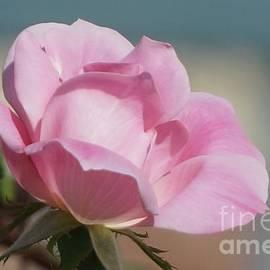 Single Pink Rose by Maxine Billings