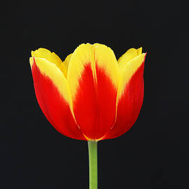 Allen Beatty - Single Red and Yellow Tulip on Black