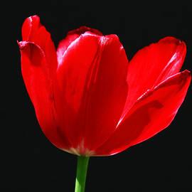 Single Red Tulip on Black by Allen Beatty