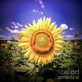 Single Sunflower by Jim DeLillo
