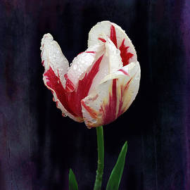 Grace Iradian - Single Tulip