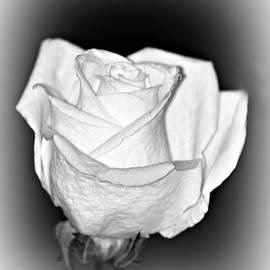 Diann Fisher - Single White Rose BW Frost