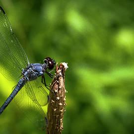 Reid Callaway - Sitting Pretty 2 Dragonfly Art