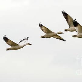 Six Snowgeese Flying - Mike Dawson