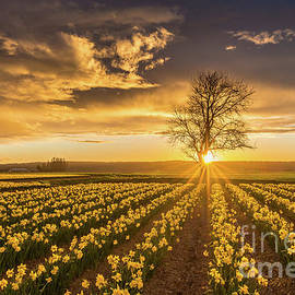 Mike Reid - Skagit Valley Daffodils Sunset