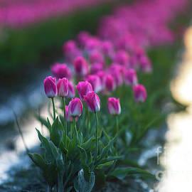 Mike Reid - Skagit Valley Tulip Festival Pink Tulips Evening Light