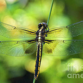 Mitch Shindelbower - Skimmer Dragonfly
