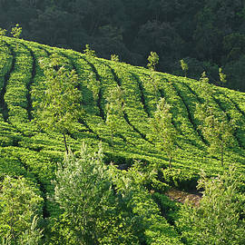 Sunil Kapadia - SKN 6724 Romance Of Tea Gardens. Color