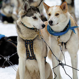 Sled Dogs by David Buhler