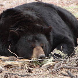 Jamie Ramirez - Sleeping Black Bear