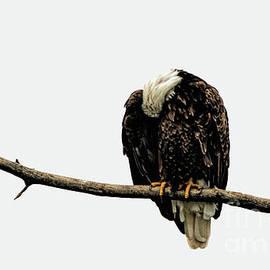 Sleeping Eagle