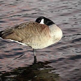 Alex Galkin - Sleeping goose