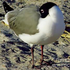 D Hackett - Sleeping Gull