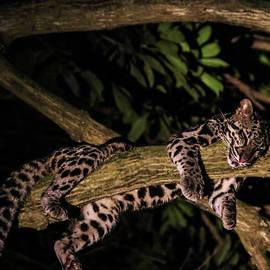 Shady Ramzy - Sleeping Sunda Clouded Leopard