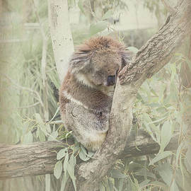 Elaine Teague - Sleepy Koala