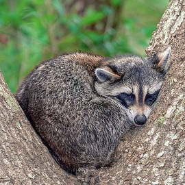 Rob Sellers - Sleepy Raccoon Sticking Out Tongue