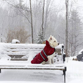 Small White Dog in Snow Storm on Bench - Edward Fielding