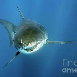 Smiley - great white shark by Norbert Probst