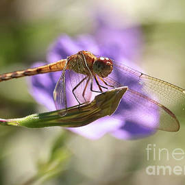 Smiling Dragonfly by Carol Groenen