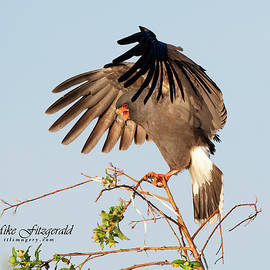 Snail Kite Landing by Mike Fitzgerald
