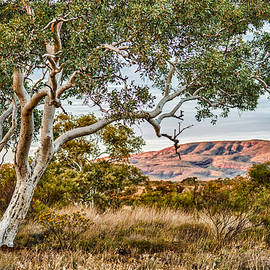 Gerhard Saueracker - Snappy gum Eucalyptus leucophloia in Karijini National Park with hills in dawn light