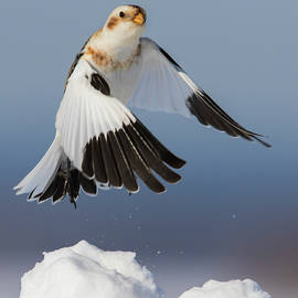 Snow Bunting in Winter by Mircea Costina Photography