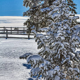 Snow Covered Bristlecone by Alana Thrower