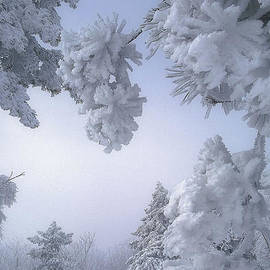 Luv Photography - Snow Covered Pine Trees In Mountain