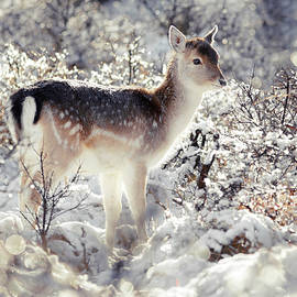 Roeselien Raimond - Snow Deer