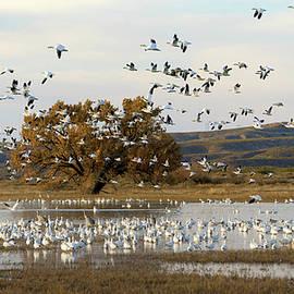 Snow Geese at Bosque Del Apache by Judi Dressler