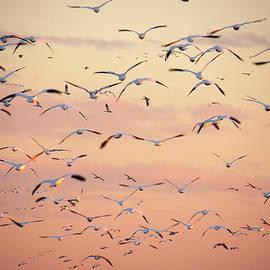 Kim Bemis - Snow Geese in Flight