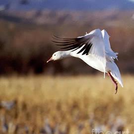 Snow Goose by Steven Ralser