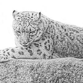 Jennie Marie Schell - Snow Leopard Black and White
