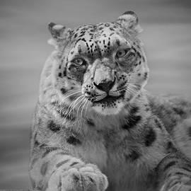 Sandy Keeton - Snow Leopard  bw