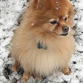 Snow Pomeranian  by Joseph Baril