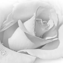Snow White Rose by Jennie Marie Schell
